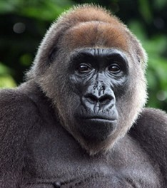 Cougar Life Reviews >> Endangered Species: Cross River Gorilla – The Cougar Call