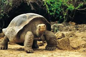 Back From the Brink: Giant Tortoises
