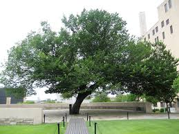 okc bombing memorial tree