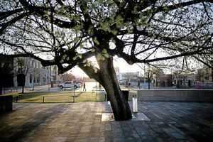 okc bombing tree