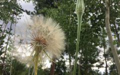 I took this photo because I thought it stood out from all the other dandelions One is completely bloomed and the other is not. I thought it was very unique because the dandelion in bloom has such a large blossom.