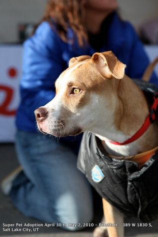 """Scores of lovable Pit Bulls at Salt Lake City Super Pet Adoption 2010"""