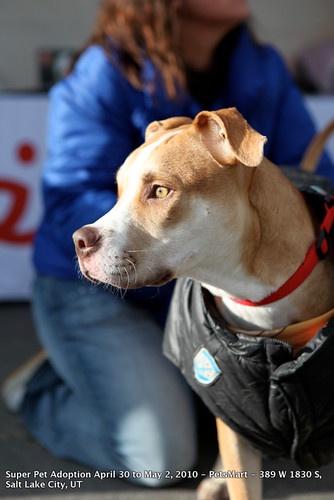 Scores of lovable Pit Bulls at Salt Lake City Super Pet Adoption 2010